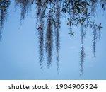 Pattern Of Spanish Moss Hanging ...