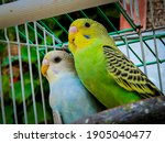 Budgerigar Couple With Smart...