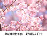 japanese cherry blossoms | Shutterstock . vector #190513544