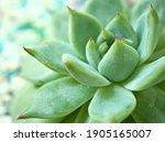 Succulent Plants Echeveria...
