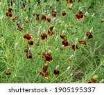 A Patch Of Prairie Coneflower ...