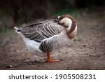 Goose With Bent Neck In...