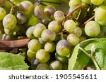 Bunches Of Grapes Affected By...