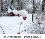 Snow Covered Branch With Red...