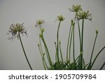 African Lily  Agapanthus ...