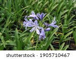 Blue African Lily  Agapanthus ...