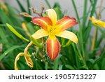 Hemerocallis Fulva  The Orange...