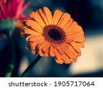 Calendula. Flowers Close Up...