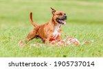 Staffordshire Bull Terrier Dog...