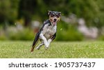 Basenji Dog Running In The...