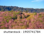 Wild Himakayan Cherry Trees Or...