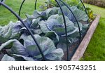 Violet Cabbage Plants In The...