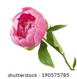 Pink Peony Closeup Isolated On...