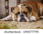 Sad English Bulldog Puppy Is...