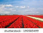 Blue Sky Over Red Tulip Field ...