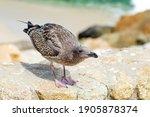 Young Seagull  Larus Argentatus ...