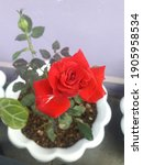 Small photo of The red roses blooming in the garden are so beautiful, showing a real prowess. red symbolizes courage. the same as this red rose so boldly exudes its beautiful charm