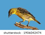 A Female Southern Masked Weaver ...