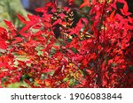 Red Leaves And Berries On A...