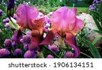 Two Beautiful Vinous Irises On...