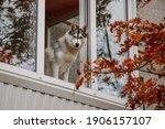 A Siberian Husky Sits On A...