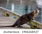 Otter On Boat Dock Victoria  Bc ...