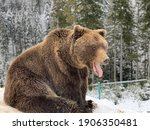 An Adult Bear In A Snowy Forest....