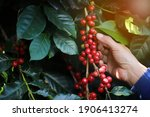 Small photo of organic arabica coffee with farmer harvest in farm.harvesting Robusta and arabica coffee berries by agriculturist hands,Worker Harvest arabica coffee berries on its branch, harvest concept.