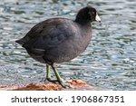 American Coot Duck Bird Water