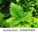 Small Nettle  A Species Of...