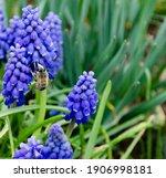 Muscari Blooming  Spring ...