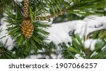 Hillside Pine Tree With Cones...