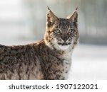 Portrait Baby Eurasian Lynx  A...