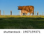 Small photo of Sucking cow with a sucking calf on a meadow in the Eifel.