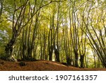 Beech Trees With Green Leaves...