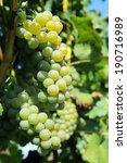 green bunch of grapes on... | Shutterstock . vector #190716989