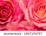 Pink Roses Flower With Water...