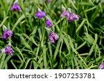 Flower Of Allium Insubricum In...