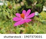 Cosmos Bipinnatus  Mexican...