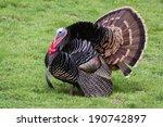 Adult Male Tom Turkey Showing...
