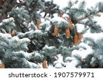 Blue Spruce With Cones  Picea...