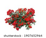 Red Rose Flowers With White...