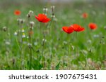Papaver Rhoeas Common Poppy...