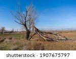A Broken Willow Tree Lies On...