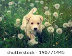 Stock photo puppy in the grass 190771445