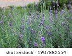 Close Photo Of Purple Field Of...