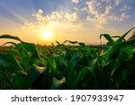 Green Corn Field In...