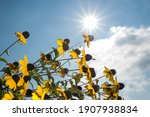 Yellow Flowers With Sun Stripes