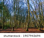 Forest View With Barren Beech...