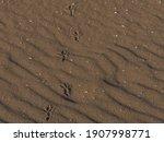 Hooded Crow Footprints On...